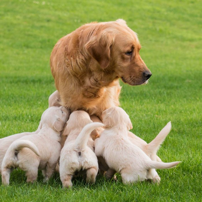 Puppies asking mother dog for feeding